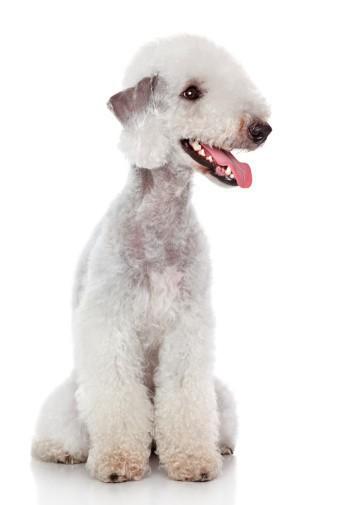 Bedlington Terrier Grooming In Barrie Ontario Doogans Pet Centre