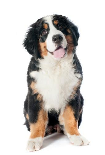 Bernese Moutian Dog Grooming