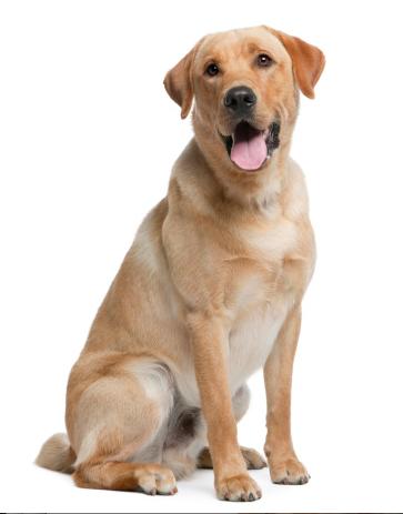Labrador Retriever Grooming