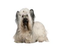 Skye Terrier Grooming