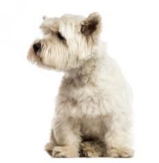 West Highlander White Terrier Grooming