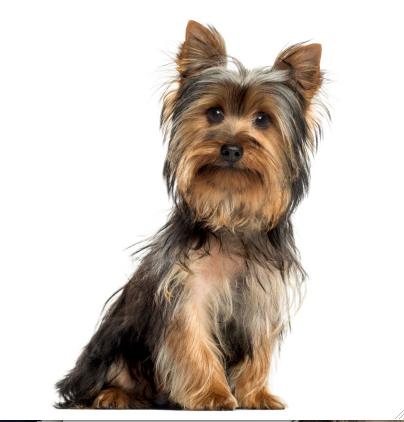 Yorkshire Terrier Grooming In Barrie Ontario Doogans Pet Centre